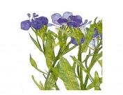 Flor seca prensada loberia with stem azul 1945
