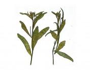 Flor seca prensada loberia leaves verde 1960
