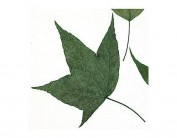 Flor seca prensada maple leaves verde 1979