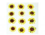 Flor seca prensada mini chrysanthemum 1909