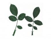 Flor seca prensada rose leaves verde 1961