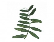 Flor seca prensada seed sprout verde 1968