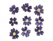 Flor seca prensada verbena azul 1919