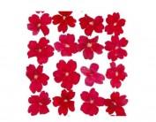 Flor seca prensada verbena rojo 1922