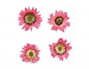 Flores Secas prensada baby everlasting rosa 1976